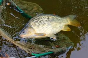 Ekspert: Karp pozostanie rybą sezonową