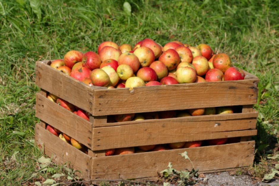Niemcy zbiorą więcej jabłek przemysłowych