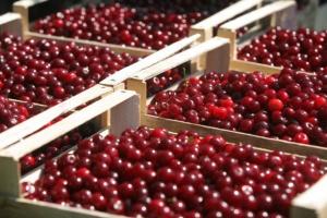 Niewielki wzrost cen wiśni w skupach na Mazowszu