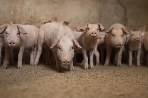 ARR: do września wzrost cen skupu żywca wieprzowego
