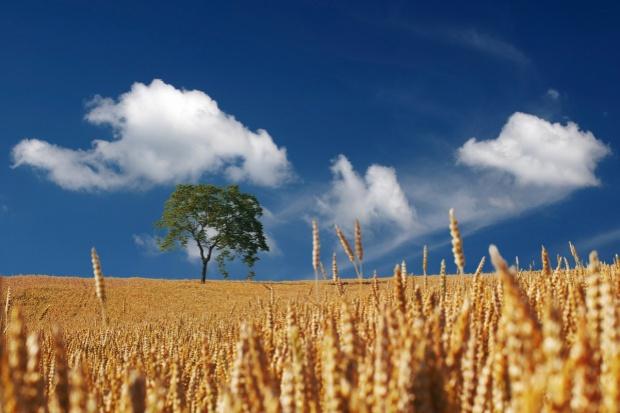 Tegoroczne zbiory zbóż wyniosą 26,1 mln ton