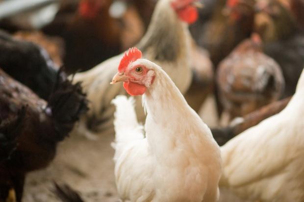 BGŻ BNP Paribas: Sytuacja na rynku drobiu w Polsce