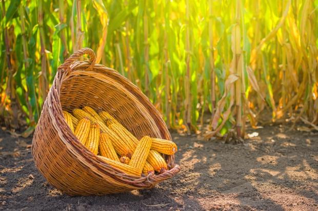W Niemczech coraz więcej kukurydzy uprawianej na biomasę
