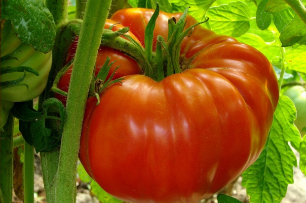 Ogrodnik z Gorlic wyhodował gigantycznego pomidora - waży 1,4 kg