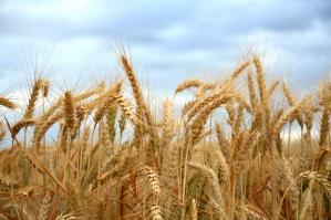 Grupa IMC zakończyła żniwa pszenicy ozimej