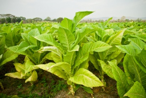 Plantatorzy są najsłabiej kontrolowanym elementem łańcucha produkcji papierosów