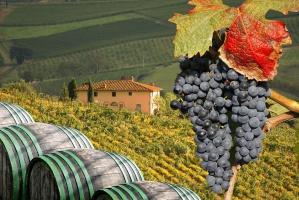 We Włoszech rozpoczęło się tegoroczne winobranie