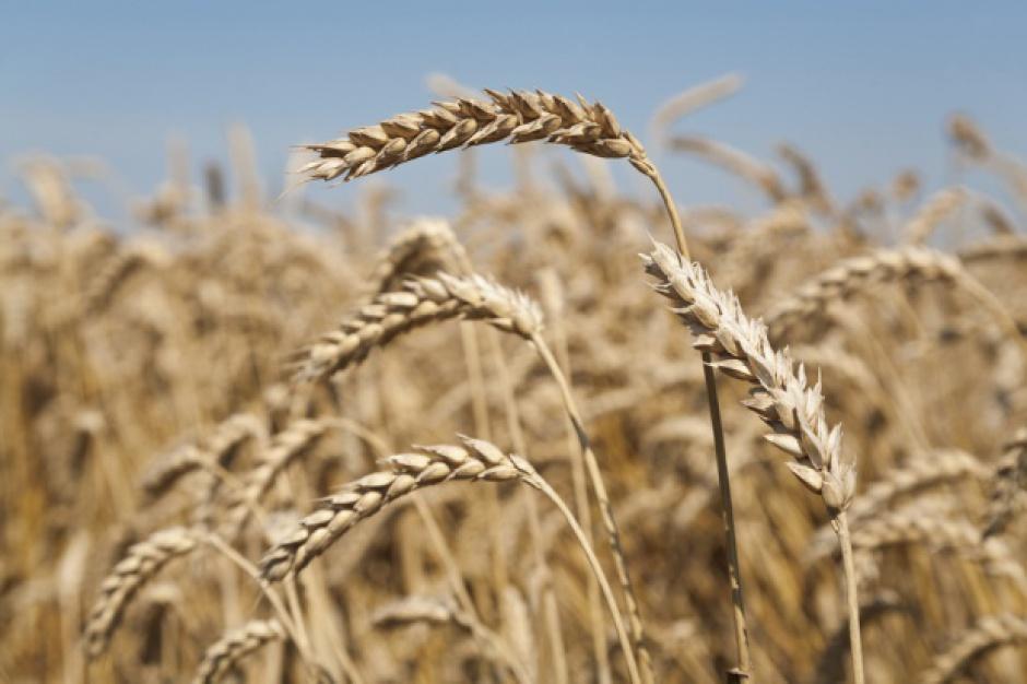 Produkcja pszenicy w Unii Europejskiej i Rosji w sezonie 2016/17