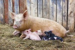 Mazowieckie: Wykryto 16. w kraju ognisko ASF u świń