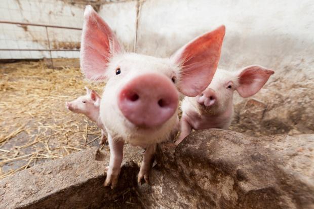 WTO popiera UE w sporze z Rosją ws. zakazu importu wieprzowiny