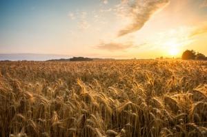 Ceny zbóż niższe niż przed rokiem