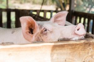 MRiRW: Przestrzeganie zasad bioasekuracji skutecznym sposobem na ASF
