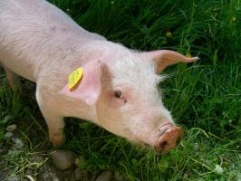 Na Podlasiu wkryto 17. w kraju ognisko ASF u świń