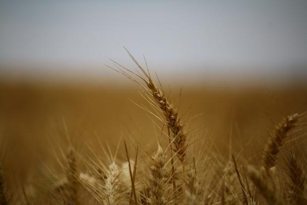 GUS: Rolnicy przystąpili do żniw, potaniały produkty roślinne