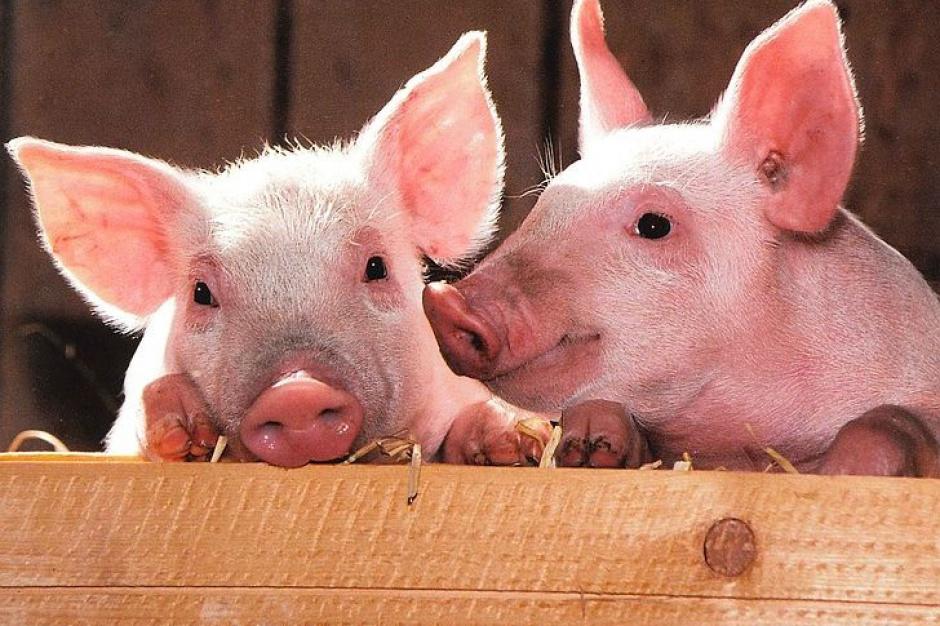 Na Podlasiu wykryto 18. w kraju ognisko ASF u świń. Pierwsze w powiecie monieckim