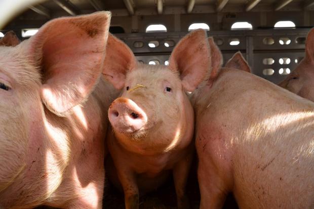 Dania: Wzrósł eksport żywych świń, ale spadły ich uboje