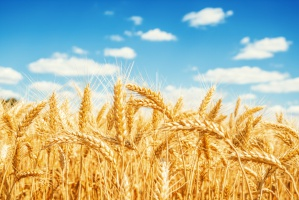 KE podaje najnowszą prognozę plonów zbóż
