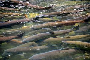 Zwiększenie ochrony dzikiego tarła łososi i troci