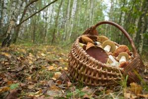 Z roku na rok spada liczba zatruć grzybami