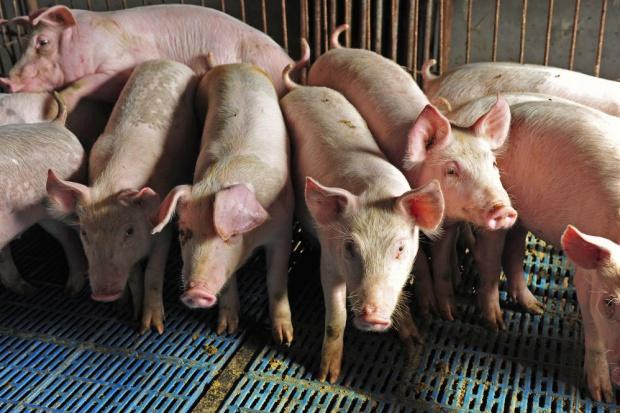 Crédit Agricole: ASF zagrożeniem dla perspektyw polskiego eksportu wieprzowiny