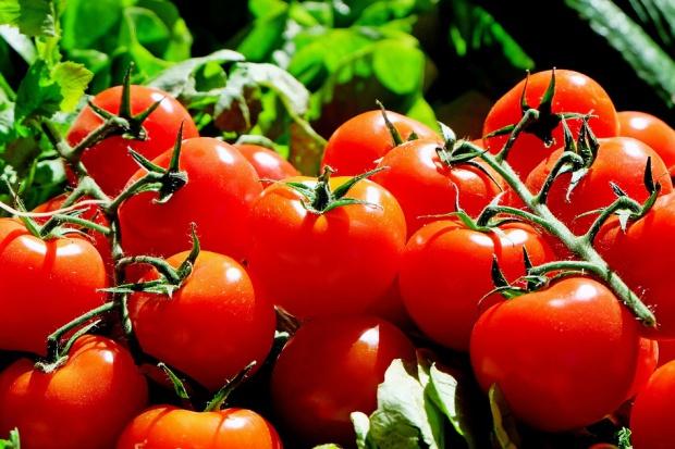 Polskie pomidory wygrywają konkurencję z holenderskimi