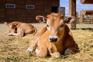 Poprawiają się wyniki eksportu polskiej wołowiny