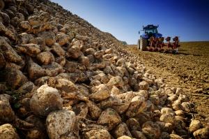IERiGŻ: Rozpoczęta kampania cukrownicza powinna przynieść dobre plony