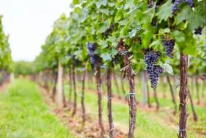 Rosjanie stawiają na uprawy winorośli. Przez sankcje Zachodu