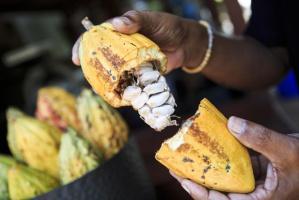 Koncerny spożywcze wykorzystują niewolniczą pracę dzieci przy produkcji kakao