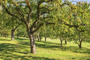 W obwodzie Kaliningradzkim powstanie 250 hektarów sadów