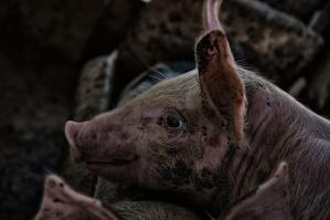 Spada pogłowie świń. Tak źle nie było od dziesięcioleci...