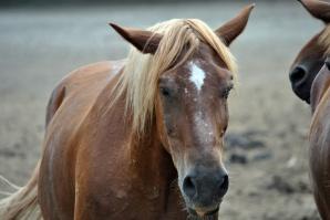 Większa kontrola mięsa końskiego sprowadzanego spoza UE
