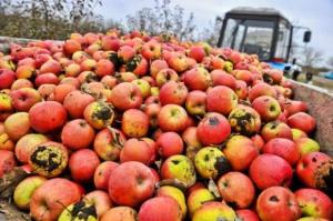 Ceny jabłek przemysłowych na Mazowszu sięgają 22 gr/kg