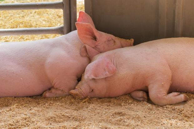 KZP-PTCh: Potrzebna pomoc dla producentów świń z rejonów objętych ASF