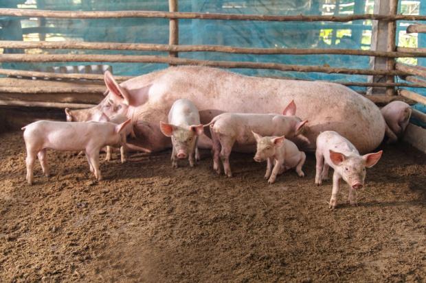 UE: rośnie produkcja wieprzowiny