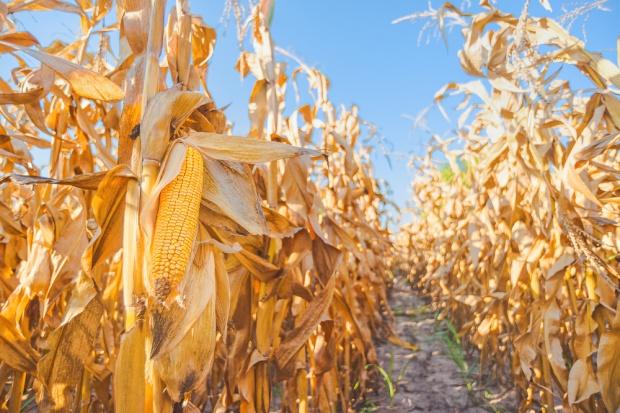 Szykują się rekordowe zbiory kukurydzy!