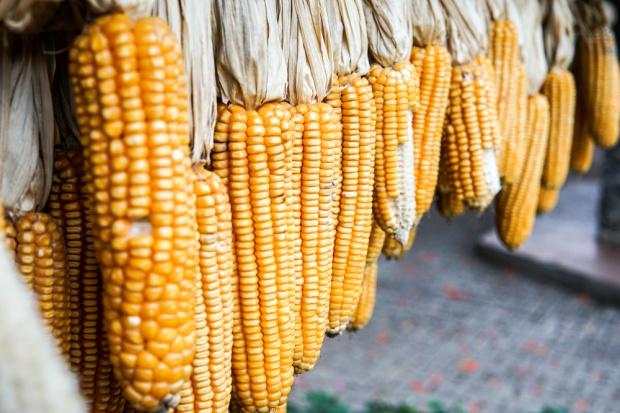 USA liderem eksportu kukurydzy