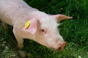 Lubelskie: Rolnicy wznowili protest w zw. z ASF