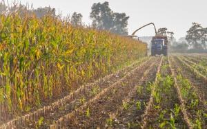 Deszczowa aura wstrzymuje zbiory kukurydzy