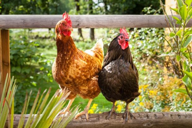 UE: stabilne ceny kurczaków