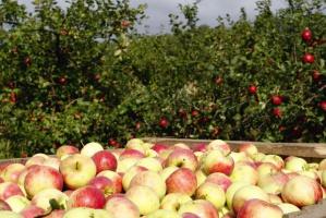 Ceny jabłek przemysłowych na Mazowszu wzrosły na 25 gr/kg