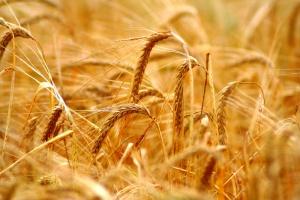 Niższe ceny zbóż