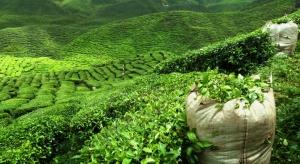 Kenia: susza może odbić się na uprawach herbaty