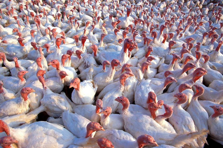 De Heus: W ciągu 2-3 lat Polska może stać się liderem produkcji mięsa indyczego