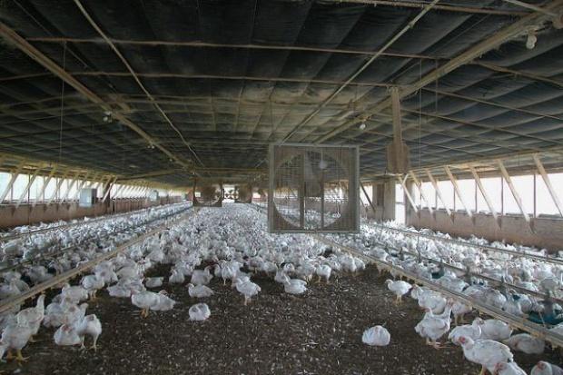 MRiRW zaleca ostrożność hodowcom drobiu po stwierdzeniu ptasiej grypy w Zachodniopomorskiem