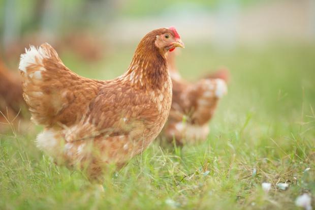 Niemcy: 30 tys. sztuk drobiu do wybicia w ramach walki z ptasią grypą