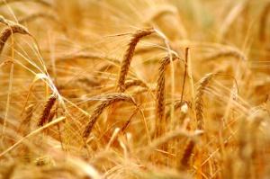 Rosną ceny zbóż na MATIF