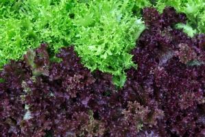Gotowe mieszanki sałat stymulują wzrost salmonelli