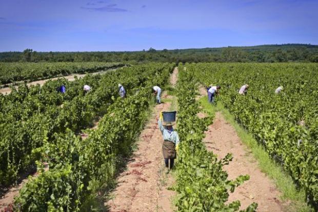 Portugalscy winiarze spokojni o jakość zbiorów 2016 i win mimo strat i pogody