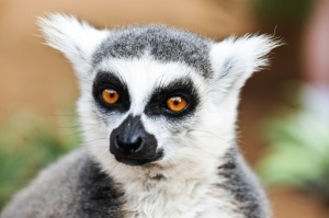 Hodowla kur i ryb pomoże ocalić lemura na Madagaskarze